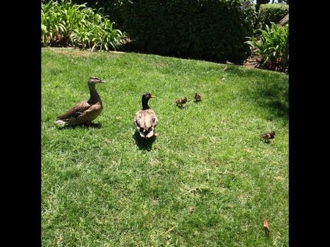 Family of Ducks at Seaport Village in San Diego