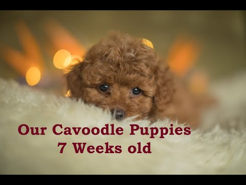 Our red cavoodle puppies - 7 weeks old   Raggy Dogs