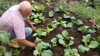 Dicas de Como Plantar e Adubar Couves
