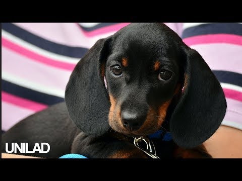 Cute Dachshund Puppies | UNILAD