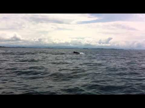 Whale Watching in the Gulf of Chiriqui, Republic of Panama