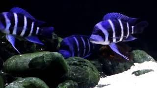 Repeat youtube video 140g Tanganyika Cichlid Tank : Gibberosa Zaire Moba Sapphire