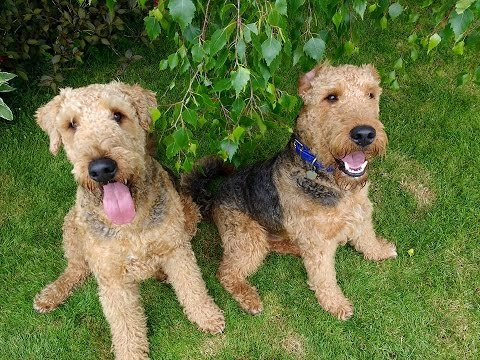 Whisper & Bisto - Airedale Terriers Dog Aggression Residential Dog Training