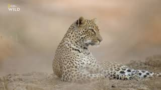Африканские охотники 3 сезон 4 серия - Леопард, который сменил цвет своих пятен