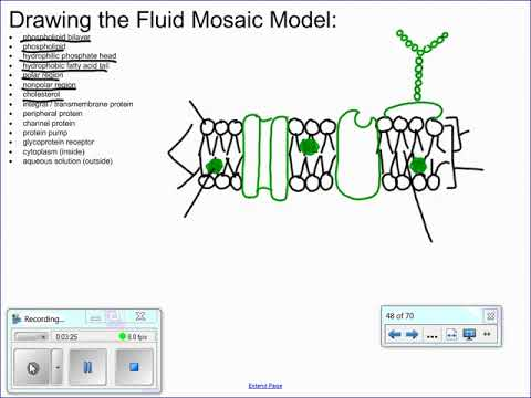 Drawing The Fluid Mosaic Model Of Cell Membrane Structure Youtube