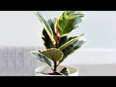 Ficus Elastica Propagation by Air Layering