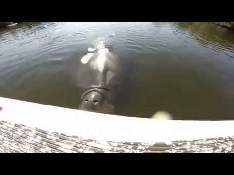 Huge Manatee Attacks Stand Up Paddle Board Fisherman