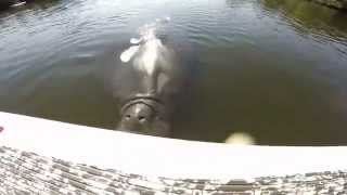 Repeat youtube video Huge Manatee Attacks Stand Up Paddle Board Fisherman
