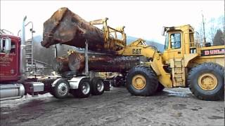 Cat Loader unloads Huge Old growth spruce logs off Peterbilt log truck.