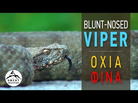 Fastest Snake attacks! Blunt-nosed Viper - Cyprus Venomous Snake (Macrovipera lebetina)