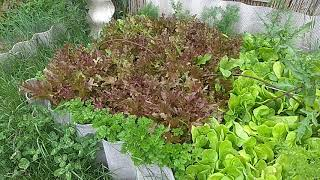 046 Как растет на биогумусе листовой салат
