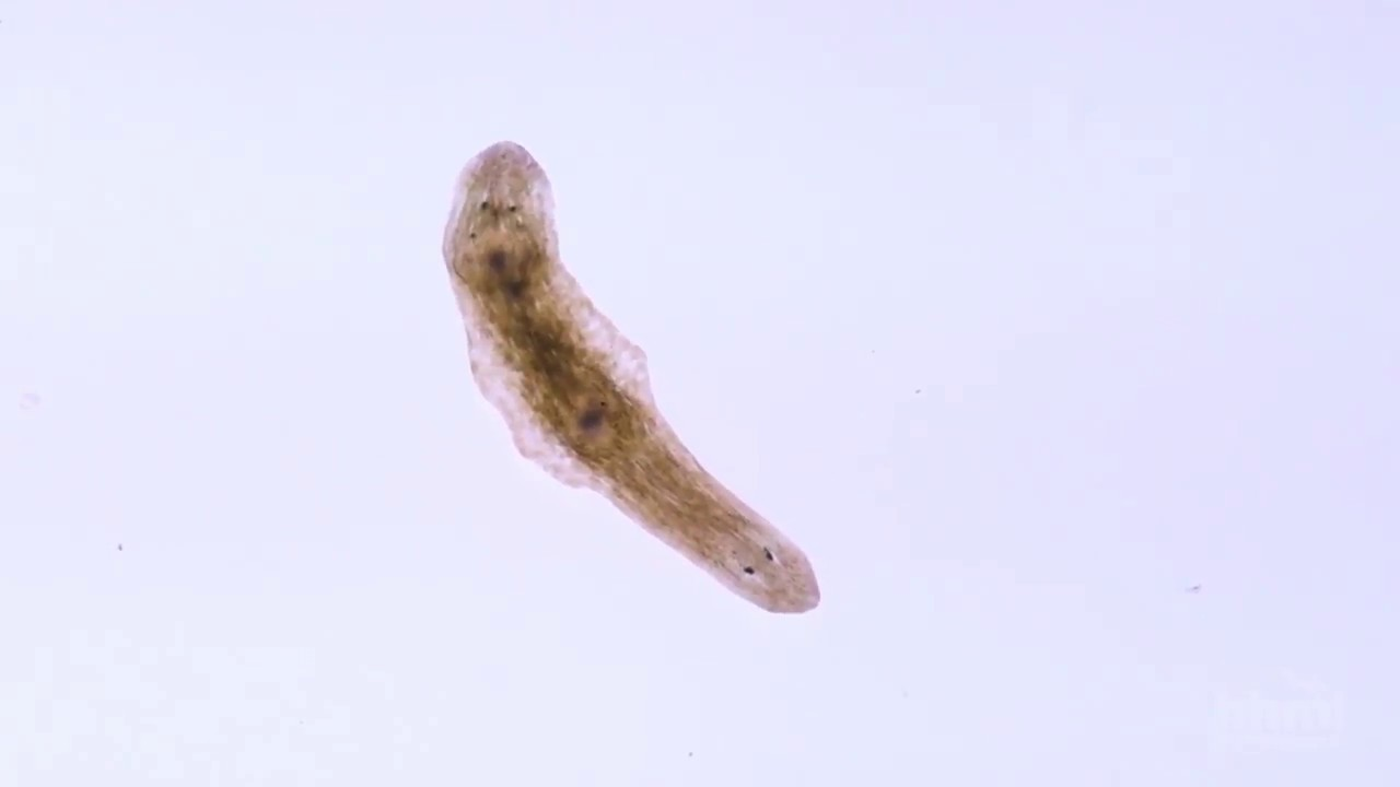 nyakplatyhelminthes planaria)