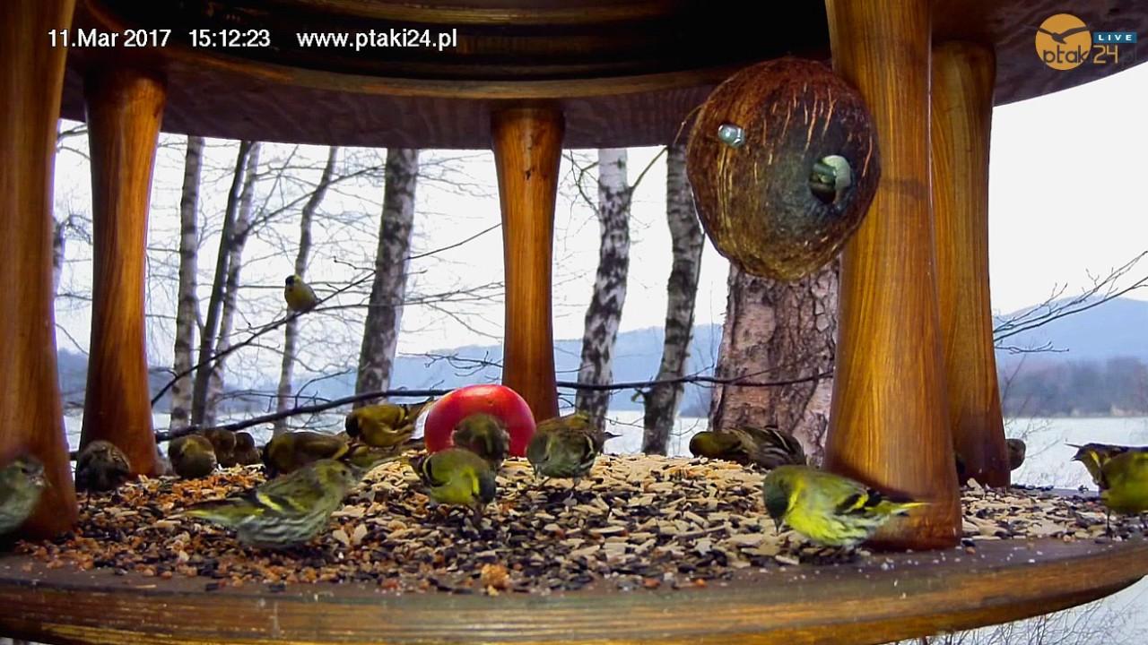 Czyżyki w karmniku dla ptaków nad Soliną w Bieszczadach