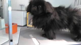 Before bath.Moo,Black Pekingese,boy.Owner's Ig @riesizu ペキニーズ...
