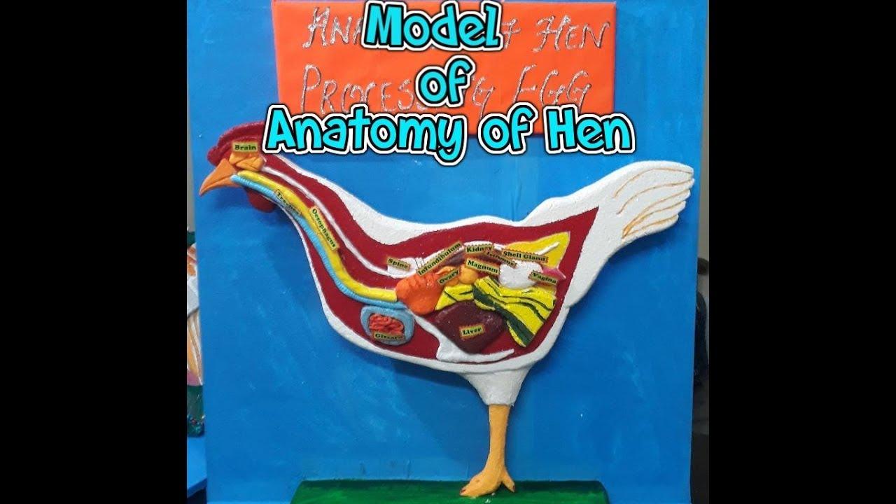 Model of Anatomy Of Hen - YouTube