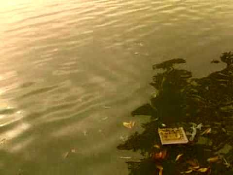 Cụ rùa tìm thức ăn ở Hồ Gươm