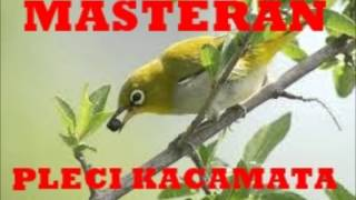 Masteran Pleci Ngalas Ngeplong Kicau Burung Pleci Kacamata Pemikat