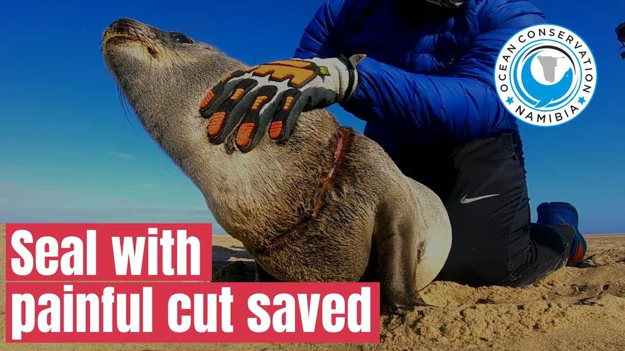 [Graphic] Baby Seal with PAINFUL CUT rescued