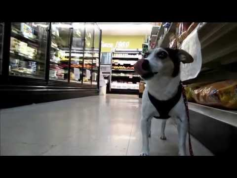 My dog 'Eddie' the Rat Terrier 'Dog's Eye View' walk to the store.