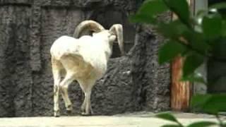 東山動物園で、ドールシープの飛び降りを撮影(PowerShotS3ISで撮影)