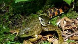 ヤマカガシ、ウシガエルを捕食する