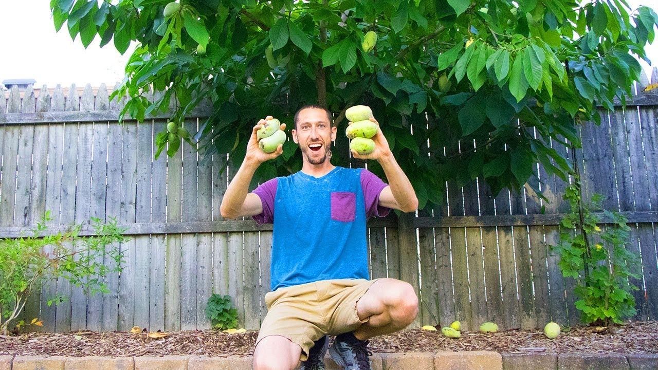 Download My Secret RARE Fruit Tree, PAWPAWS!!