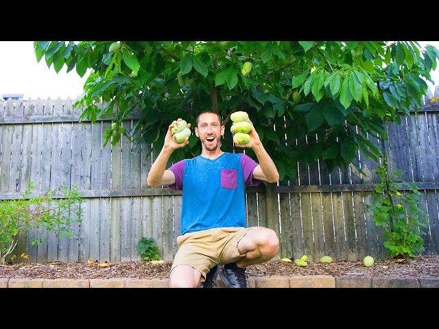 My Secret RARE Fruit Tree, PAWPAWS!!