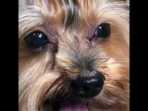 Yorkshire Terrier Dog breed | Dog Grooming