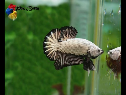 Habitat natural del pez betta youtube for Betta fish natural environment