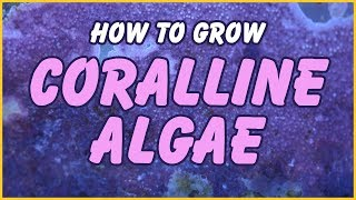How to Grow Coralline Algae In Your Aquarium: The Simple Truth