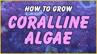 How to Grow Coralline Algae In Your Aquarium: The Simple Truth