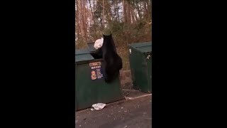 Black Bear Struggles With Picking Up Some Food From A Trash Bin