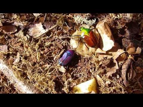 Purple Jewel Beetle & Female Giant African Fruit Beetle