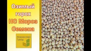 Озимый горох в  Украине - семена сорта Мороз НС видео