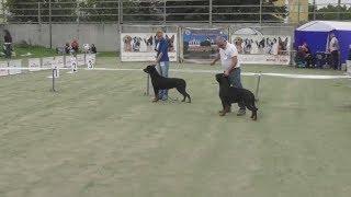 Ротвейлер, интернациональная выставка собак в Великом Новгороде ранга CACIB