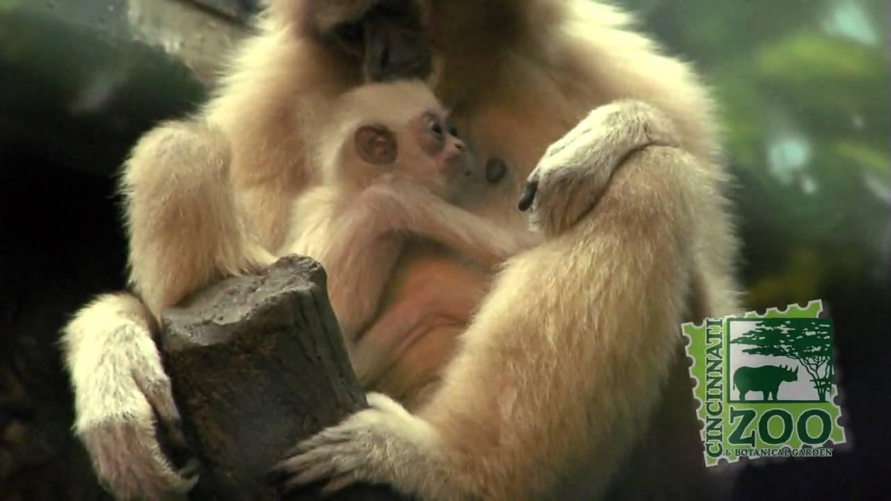 White Handed Gibbon Baby Cincinnati Zoo Youtube