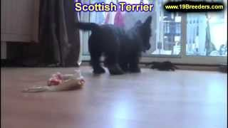 Scottish Terrier, Puppies, For, Sale, In, Lexington, County, Kentucky, Ky, Bowling Green, Owensboro,