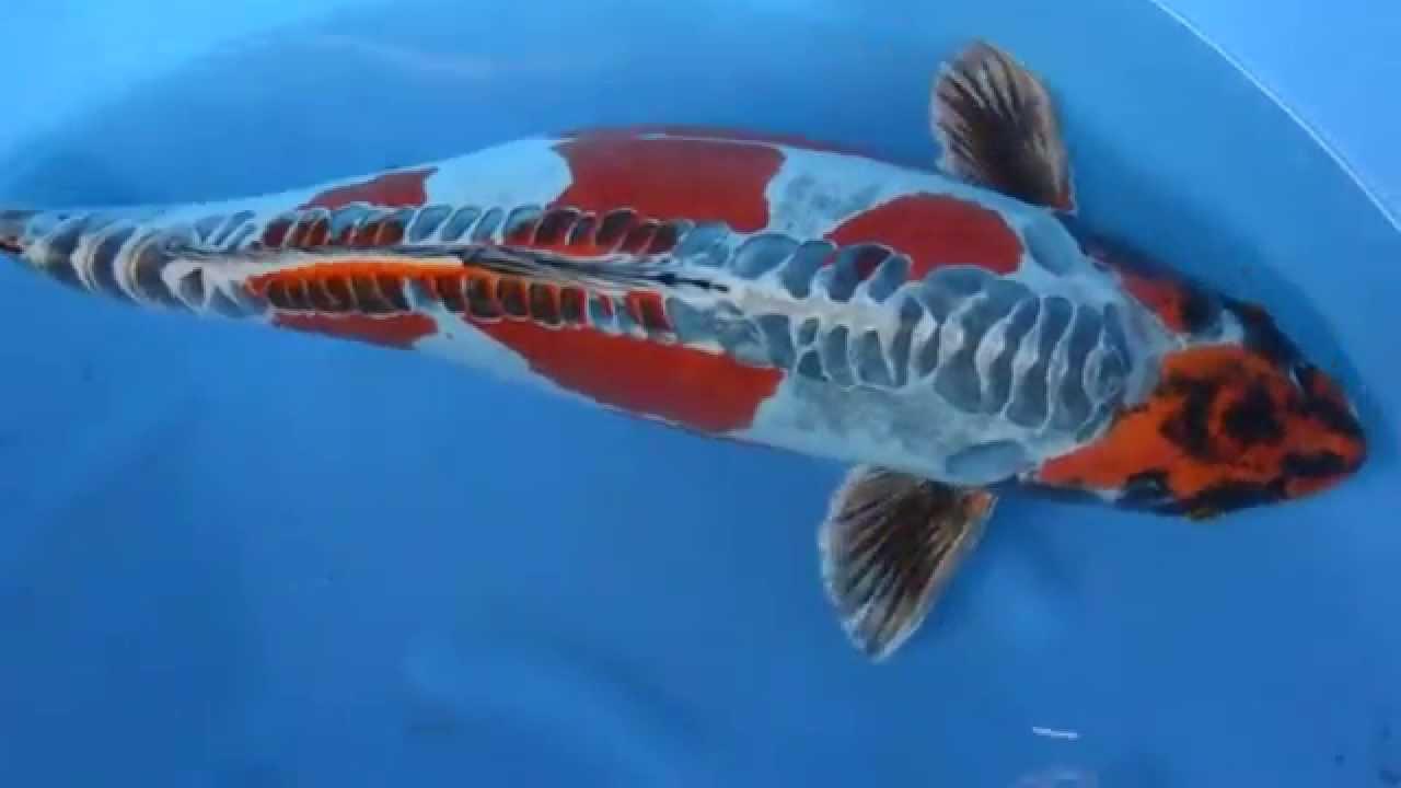 21 22 beni kikokuryu japanese koi fish youtube for Where can i buy koi fish