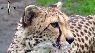 [HD] Gepard w zoo w Warszawie, najszybsze zwierzę lądowe świata 113 km/h