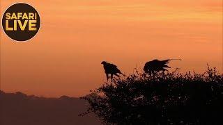 safariLIVE - Sunrise Safari - November 25, 2018
