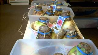 Amaryllis (Hippeastrum) bulbs - Planting Tips