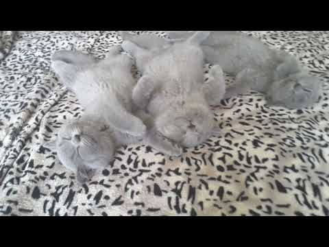 British Shorthair. Three Musketeers after the party*cattery Calmcat