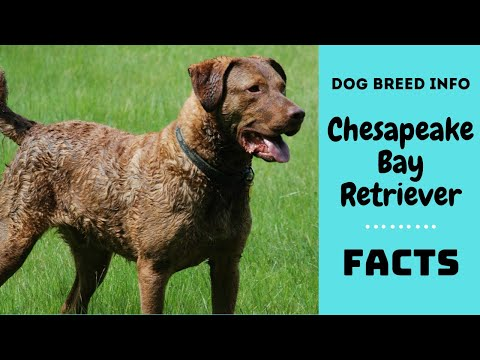 Chesapeake Bay Retriever dog breed. All breed characteristics & facts about Chesapeake Bay Retriever