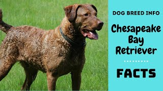 Chesapeake Bay Retriever dog breed. All breed characteristics & facts about Chesapeake Bay Retriever