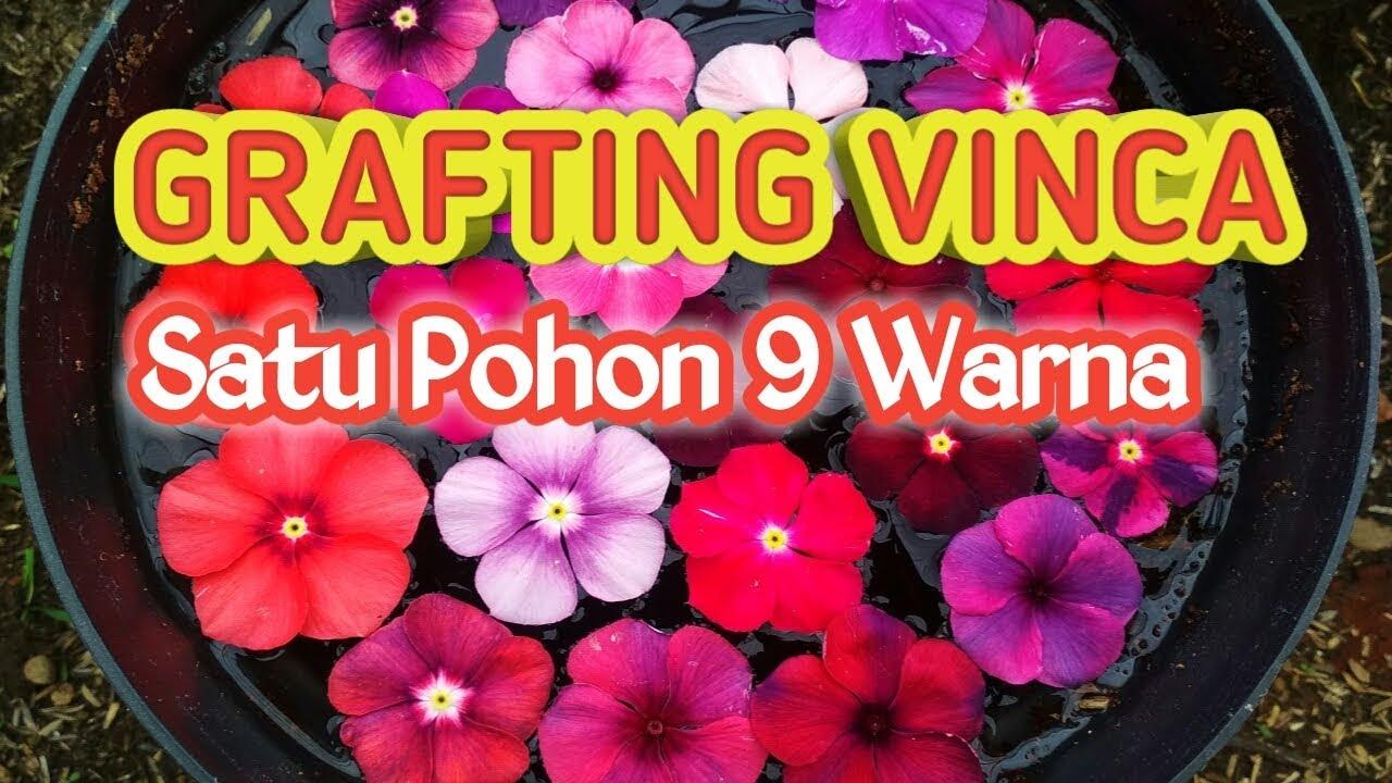 Grafting Vinca Membuat Vinca Warna Warni Dalam Satu Pohon Youtube