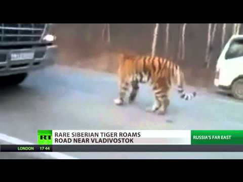 City Safari: tiger stops traffic in Vladivostok
