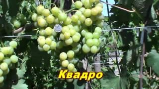 Новые Гибридные формы винограда Е.Г. Павловского.(Это видео создано с помощью видеоредактора YouTube (http://www.youtube.com/editor), 2014-10-21T16:38:03.000Z)