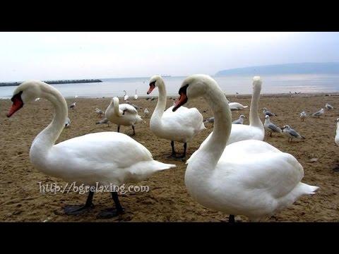 Белые лебеди прилетают на зимовку в Болгарию - YouTube