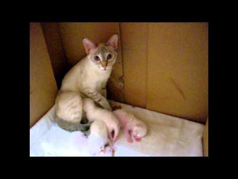 Ночной разговор с кормящей кошкой. - Улёт! Тайские кошки - это чудо! Funny Cats