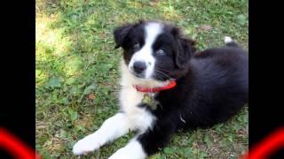 Aly, la mia nuova cucciola di Border Collie!